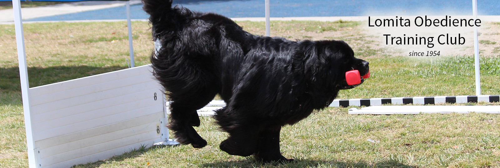 Lomita Dog Training - Newfie