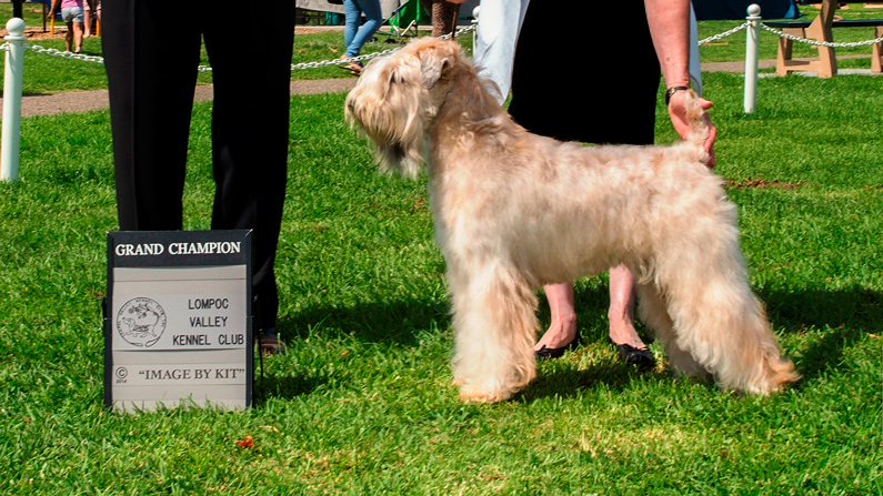 AKC Competition Conformation